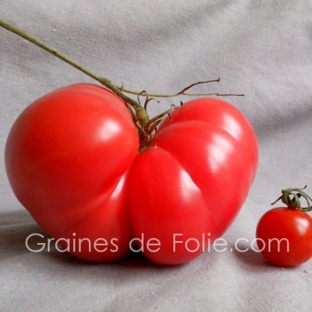 TomateGEANTE BELGE ROSE