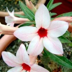 Rose du désert - CANARY BIRD - Adenium obesum