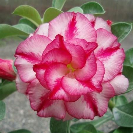 Rose du désert - DOUBLE MOON - Adenium obesum