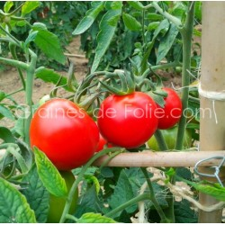 Graines de TomateSUB ARTIC PLENTY