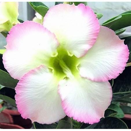 Rose du Désert SUPER PERFUME - très parfumée
