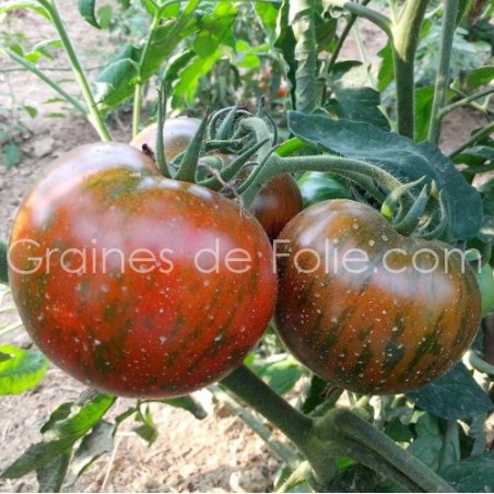Tomate BLACK ZEBRA - BIO *