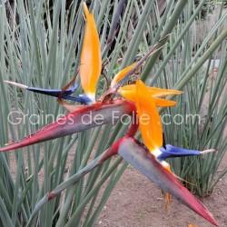 Oiseau de PARADIS à Tiges ou sans Feuilles - Strelitzia juncea