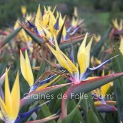 Oiseau de PARADIS Jaune - Strelitzia reginae mandelas gold