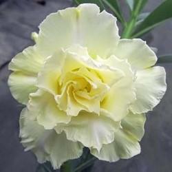 Rose du désert - adenium obesum - SABLE DES ILES