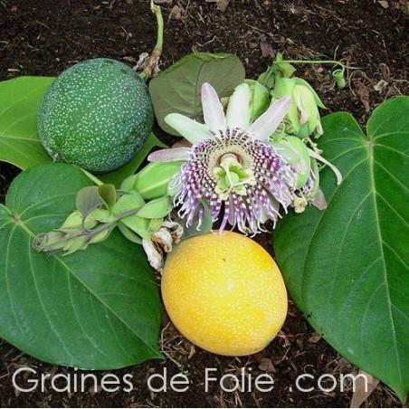 Grenadille sucrée - Passiflora ligularis