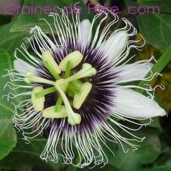 Grenadille Jaune - Passiflora edulis flavicarpa