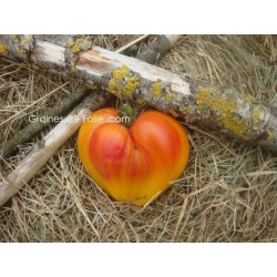 Tomate OXHEARD STRIEPED - BIO *