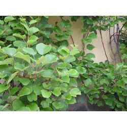 KIWI - Actinidia Chinensis