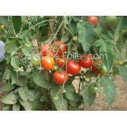 Tomate PRECOCE de QUIMPER - BIO *