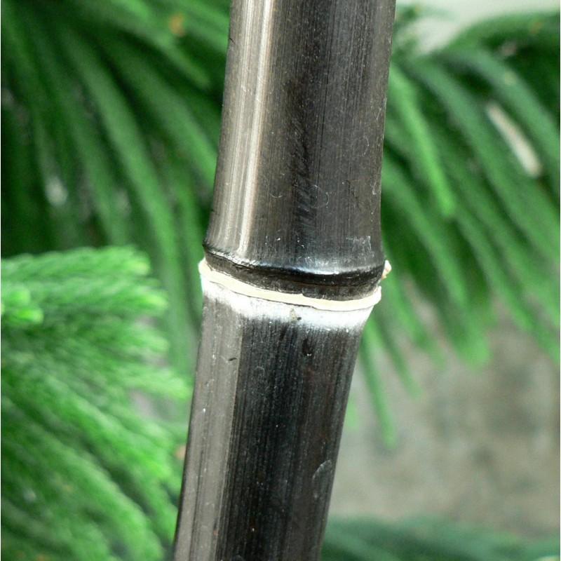 graines de bambou noir phyllostachys nigra sur. Black Bedroom Furniture Sets. Home Design Ideas