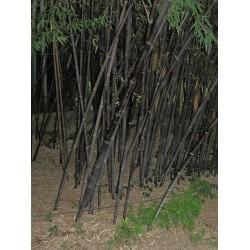 Bambou Noir Phyllostachys Nigra