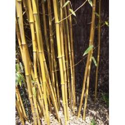 Bambou Phyllostachys aureosulcata spectabilis