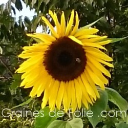 Tournesol GEANT DE CALIFORNIE