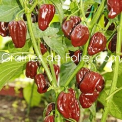 Piment antillais HABANERO CHOCOLAT graines semences