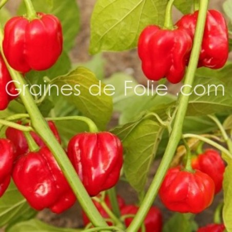 Piment antillais HABANERO ROUGE graines