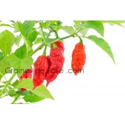 Piment BHUT JOLOKIA Graines pepper seeds