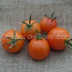 Tomate GOLDEN SUNRISE graines semences ancienne BIO