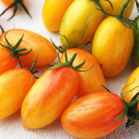 Tomate ARTISAN BLUSH TIGER - graines semences tomato seeds