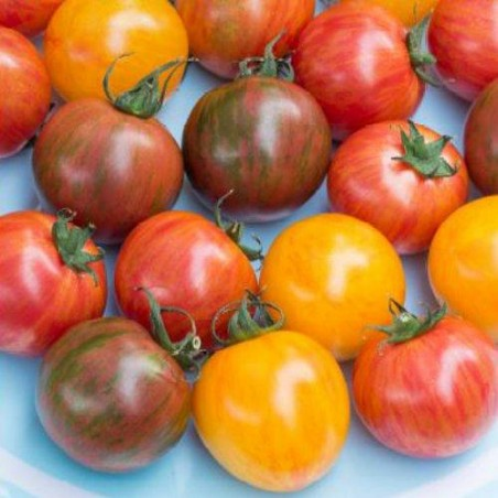 Tomate Pack BUMBLE BEE - graines semences tomatoes seeds