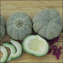 MelonJENNY LIND graines semences certifiées agriculture biologique