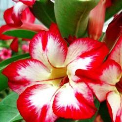 Rose du désert VANILLE FRAISE Adenium obesum - semences graines seeds
