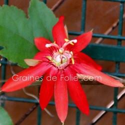 PASSIFLORE ROUGE - Passiflora coccinea - graines seeds