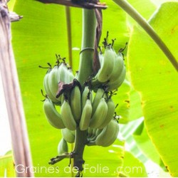 Bananier SAUVAGE - musa acuminata - graines semences seeds