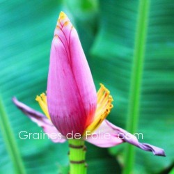 Bananier d' ORNEMENT Rose- musa ornata rose - seeds graines