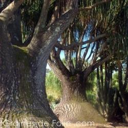 Beaucarnea recurvata - arbre bouteille - pied d'éléphant - graines semences seeds