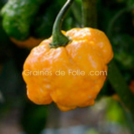 Piment  TRINIDAD MORUGA SCORPION ROUGE - graines semences seeds