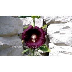 ROSE TREMIERE NOIRE - fleur graines semences