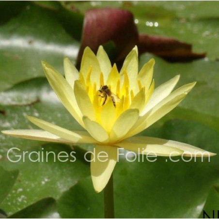 Nénuphar JAUNE - Nymphaea - semences seeds graines