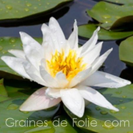 Lotus BLANC - Nymphaea Ampla semences samen seeds