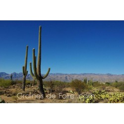 Cactus SAGUARO - semences graines carnegia gigantea seeds
