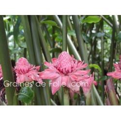 ROSE PORCELAINE ROSE - graines semences Etlingera Elatior pink seeds samen