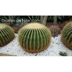 Coussin de Belle Mère - Echinocactus grusonii - graines semences seeds