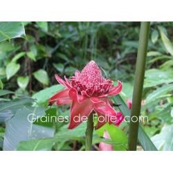 ROSE PORCELAINE ROUGE - graines semences Etlingera Elatior red seeds samen