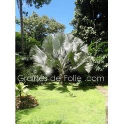 Palmier ARGENTÉ BISMARCKIA NOBILIS silver - graines semences seeds samen