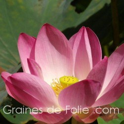 LOTUS ROSE - semences graines nelumbo nucifera pink seeds samen