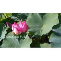 LOTUS ROSE - semences graines nelumbo nucifera pink seeds samen