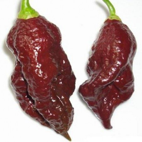 Piment BHUT JOLOKIA CHOCOLAT semences graines brûlant