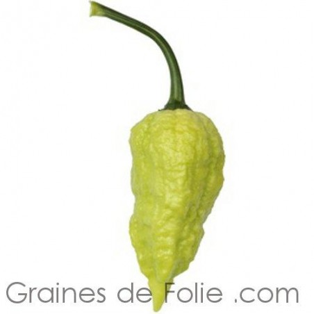 Piment BHUT JOLOKIA BLANC - Semences graines pepper seeds
