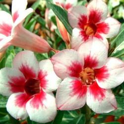 Rose du Désert JOYAU - semences graines adenium obesum seeds
