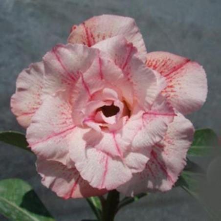 Rose du désert GUIMAUVE - graines adenium obesum seeds