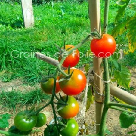Tomate ZUCKERTRAUBE Bio semences graines certifiées agriculture biologique