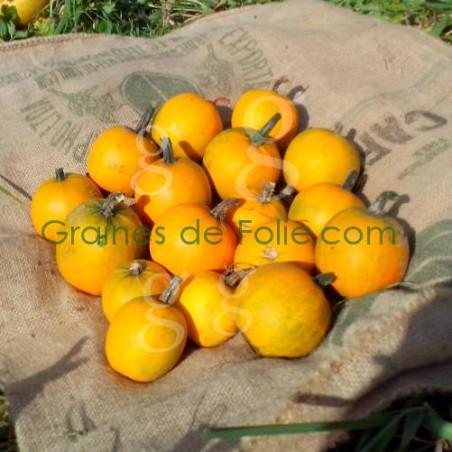 Courge POMME D'OR - graines semences BIO certifiées agriculture biologique
