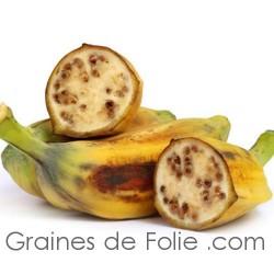 Bananier MUSA BALBISIANA - graines semences seeds semillas samen semi