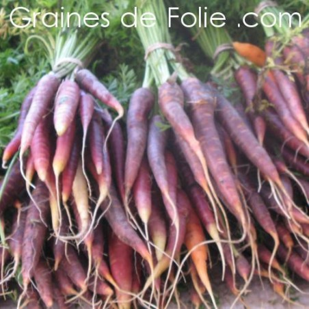 Carotte COSMIC PURPLE - semences graines de folie .com carrot seeds