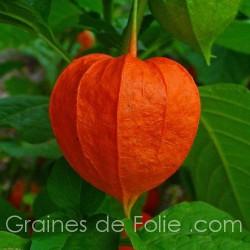AMOUR en CAGE - PHYSALIS ALKEKENGI FRANCHETII - semences graines de folie .com seeds